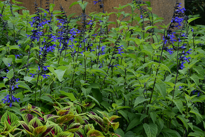 Salvia Black and Bloom - Thriller